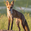 Red Fox - We surprised each other on 8/16/16