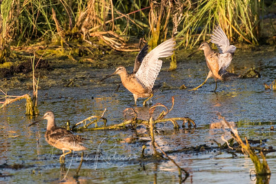 Dowitchers Long or Short?