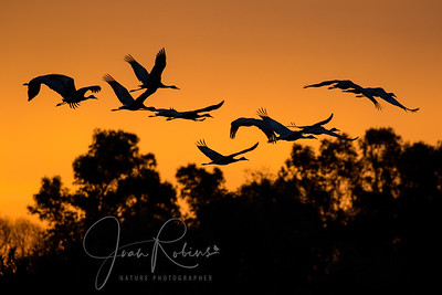 Sandhill Cranes Fly Out at Dawn