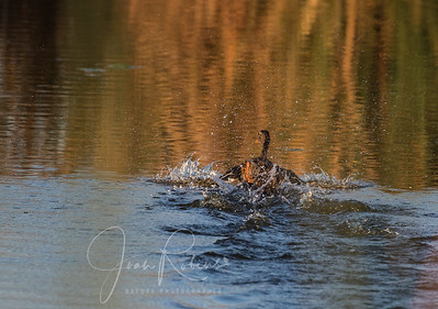 Female Wood Duck making a quick getaway