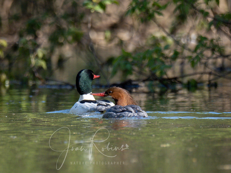 Common Mergansers get ready to fly