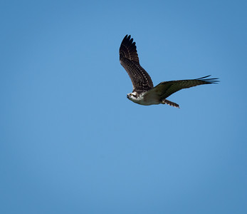 Very young Osprey (note the light outlines on his outer wings)