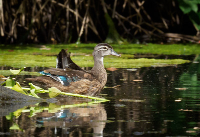 Young Wood Ducks