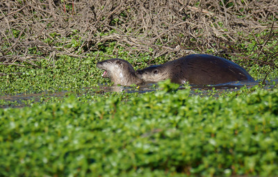 Mating Otters