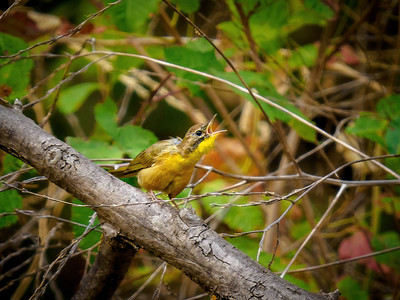 Young Common Yellowthroat