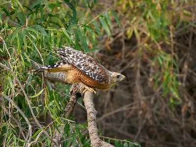 Red-shouldered Hawk ready for take-off