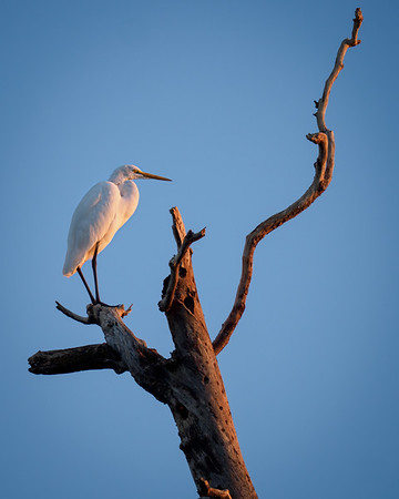 Great Egret high in a tree to greet the sunrise