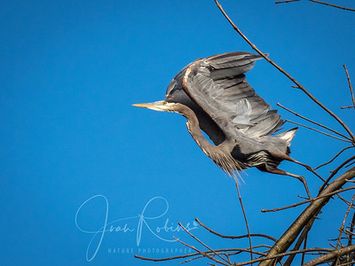 Great Blue Heron taking off over Pine Creek