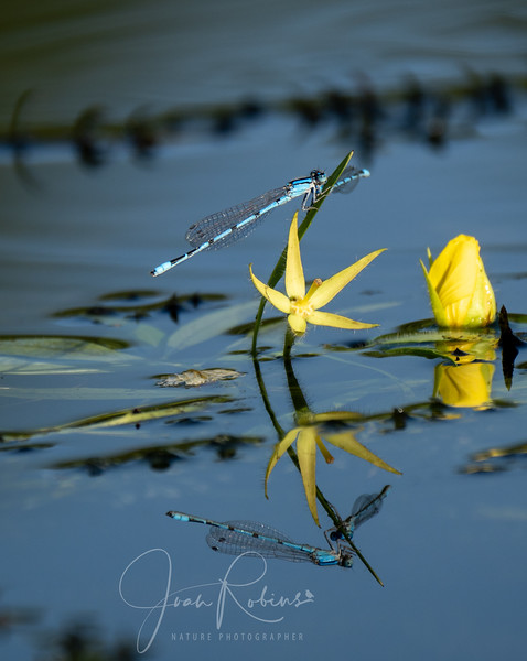 Bluet Dameselfly reflected in Pine Creek, Chico CA