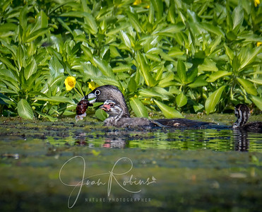 Pied-billed Grebe family with dinner on Pine Creek, CA