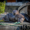 River Otters pups along the Sacramento River