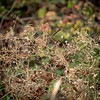 White-crowned Sparrow hiding