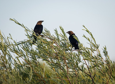 Cowbirds on the river