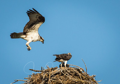 Mom landing on the nest with chicks
