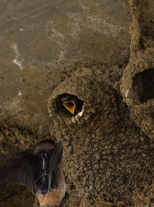 A Cliff Swallow parent at work . . .