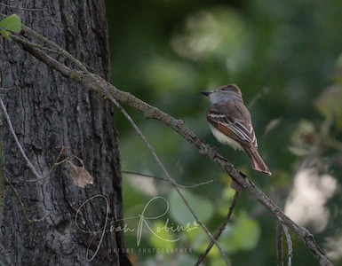 Ash-throated Flycatcher?