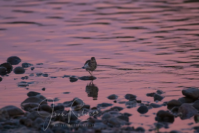 Spotted Sandpiper in reflected sunrise