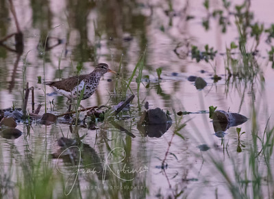 Spotted Sandpiper--dew still clinging to the grass