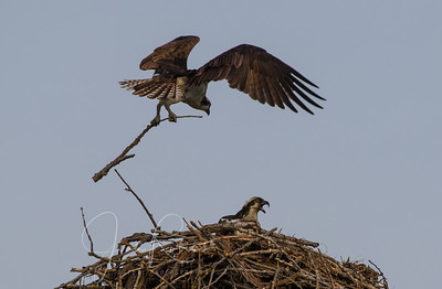 Dad bringing nest material