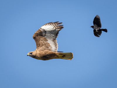 Red-tail on the run