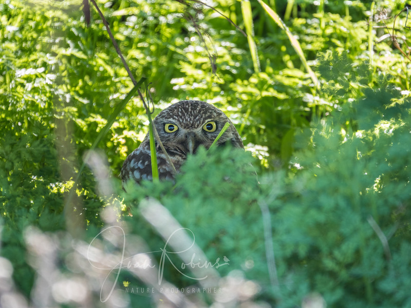 Burrowing Owl along the back roads of Chico