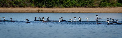 A Water Dance of Grebes