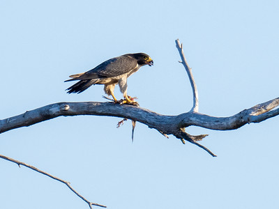 Peregrine Falcon with breakfast