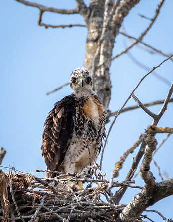 Young Red-tailed Hawk on the Afterbay