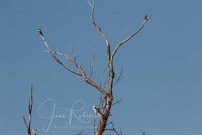 Kingfisher, Meadowlark, and White-tailed Kite in peaceful co-existence