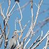 Cormorant croaking
