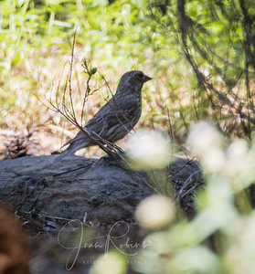 Not a Towhee, probably
