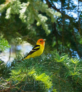 Western Tanager (shot with all the wrong settings and a rediculous ISO)