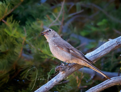 Townsend's Solitaire Singing . . .