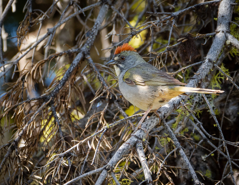 Green-tailed Towhee, Butte Meadows, CA