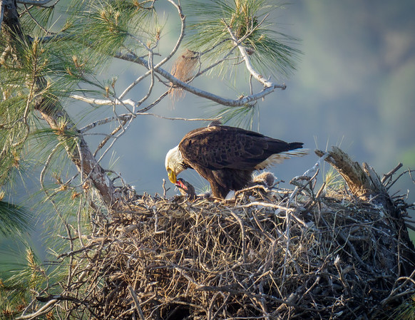 Eagle Nest near Lassen