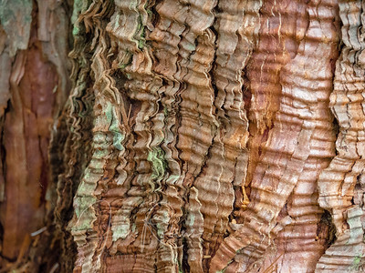 Crenulated bark