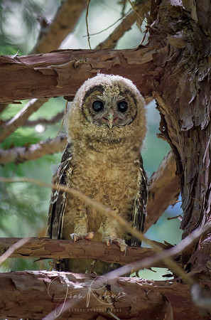 Spotted Owlet Butte County CA