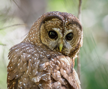 Adult Spotted Owl in Butte County