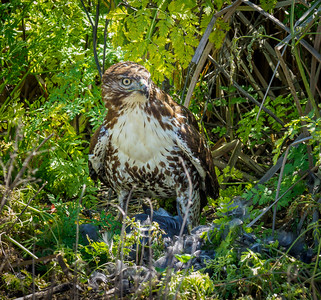 Young Red-tailed Hawk with prey