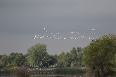 The last of the Snow Geese?