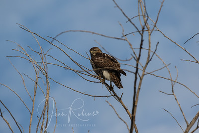 Young Red-tail