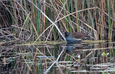 Common Gallinule (non-breeding)