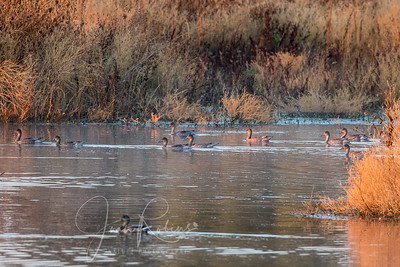Pintails in the early morning light