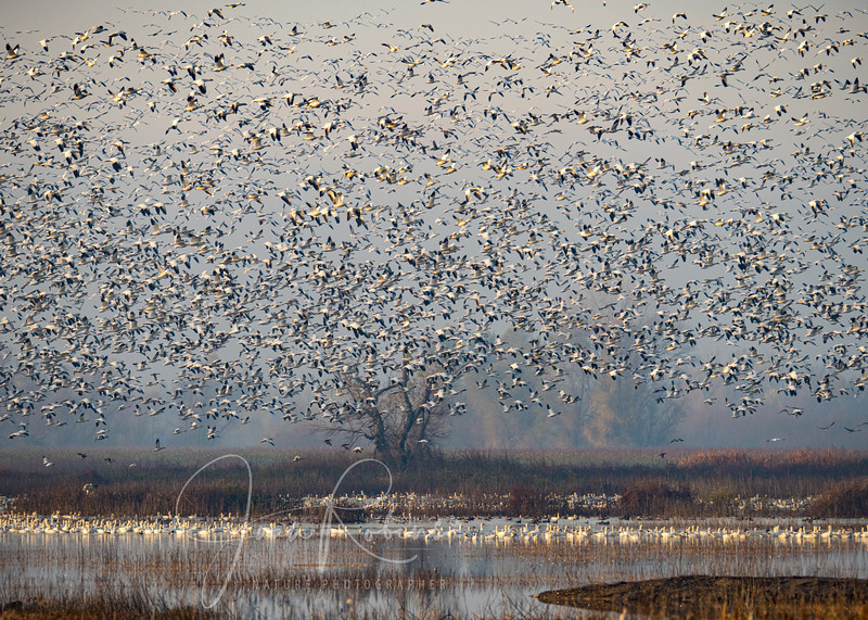 The Snow Goose Tree in the mist at Gray Lodge