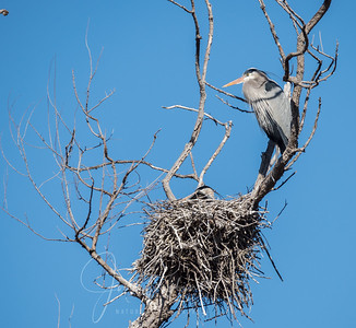 Great Blues fixing their nest