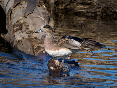 American Wigeon stretching after removing Blue-winged Teals from the log