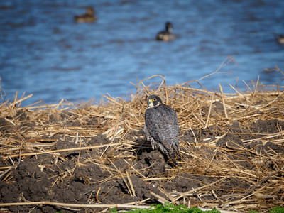 Peregrine Falcon contemplating lunch