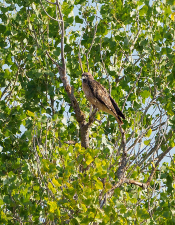 Red-tailed Hawk (Lot 17)