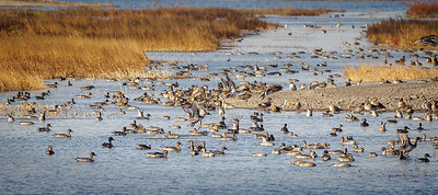 Pintails Galore