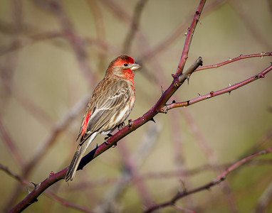 House Finch on a Red Branch